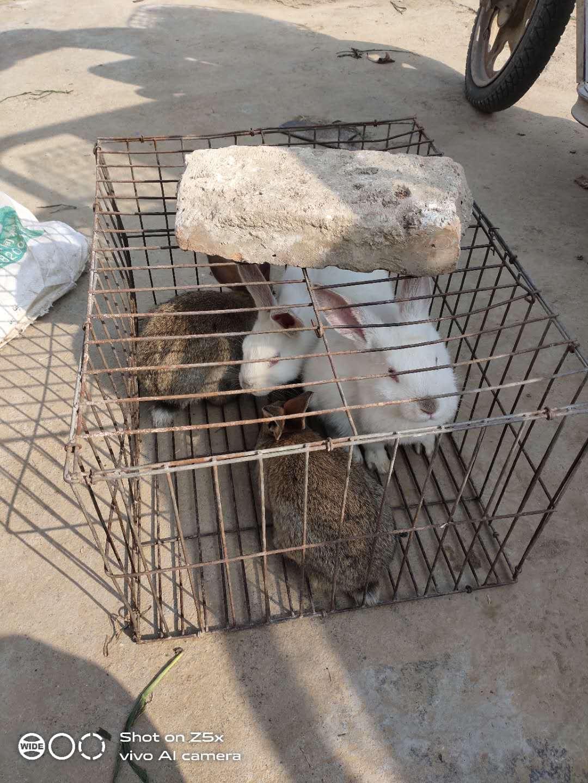 大量兔子出售