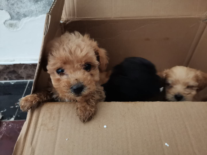 低價出售自家純種泰迪幼犬
