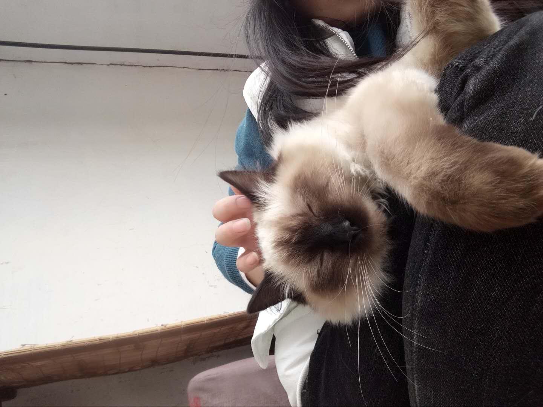重点色布偶母猫00