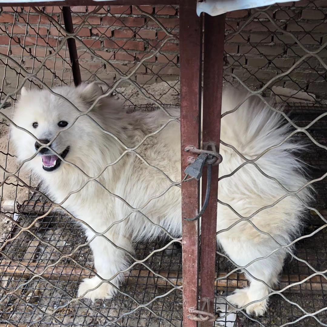 出售一只萨摩耶犬