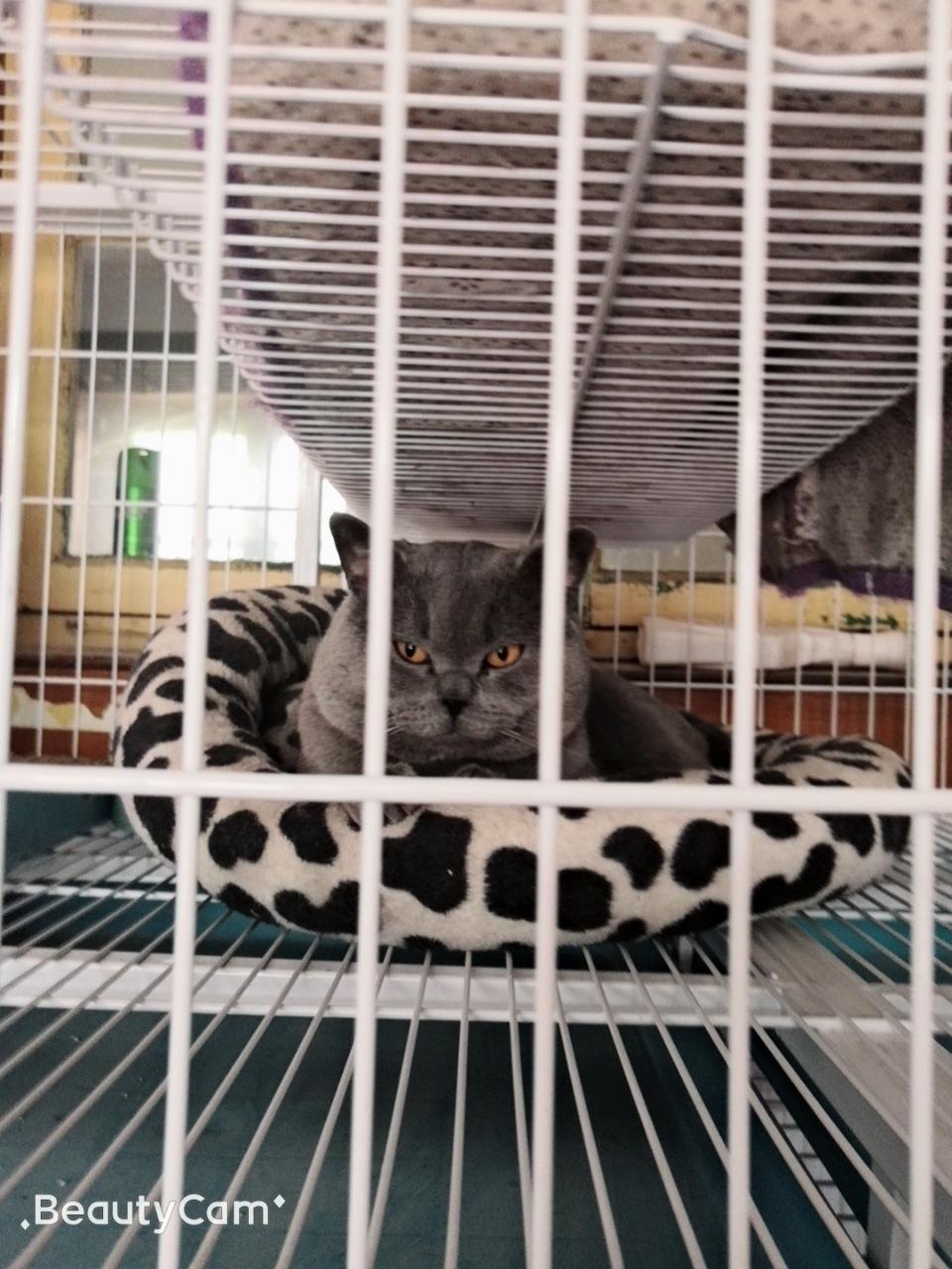 青州市区自家蓝猫幼仔