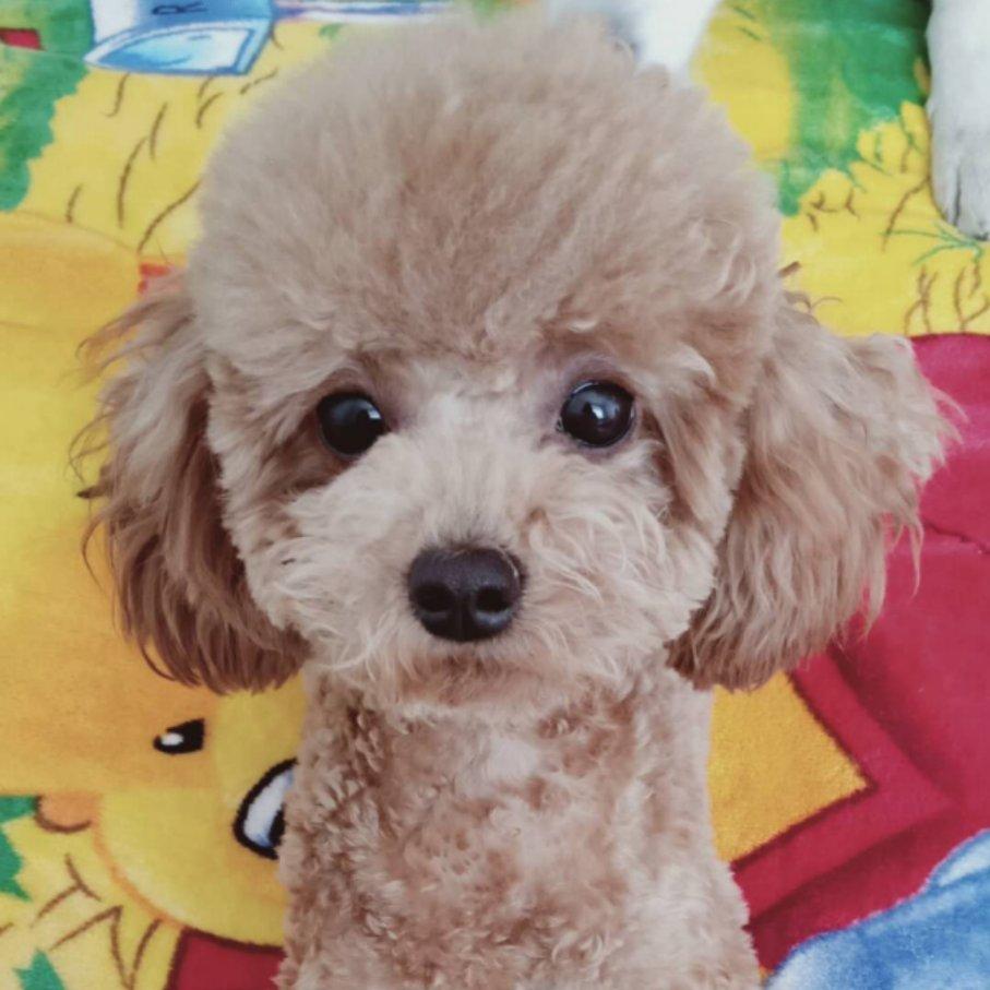 自家泰迪生的小狗